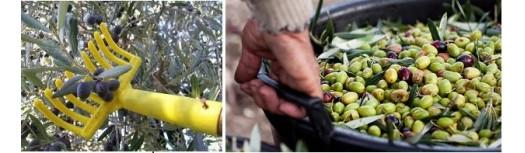 Macchine per la raccolta delle olive da mensa