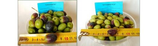 Macchine per la calibratura delle olive